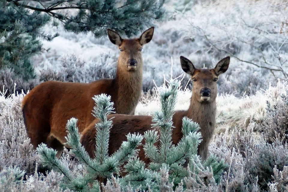 deer-1940369_960_720